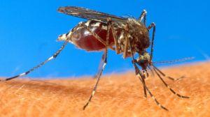 Caribbean Mosquito Vi_Grus